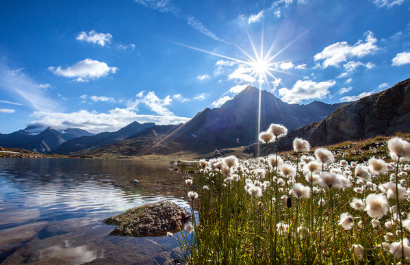 Cotton-grass (eriophorus) blooming by Lake Bianco at the Gavia Pass - Valfurva, Valtellina, Lombardy Italy Europe