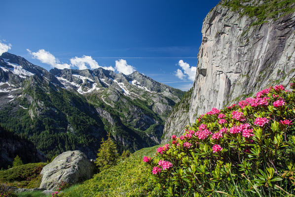 Blooming rhododendron in Val Torrone with view on the peaks of the Val di Mello reserve, Valmasino. Valtellina Lombardy Italy Europe