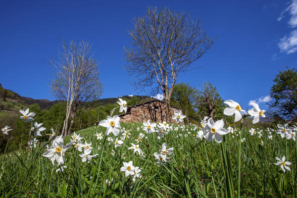 Blooming narcissus in the green meadows of Albaredo, Valtellina, Lombardy, Italy Europe