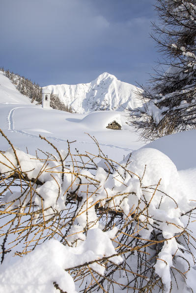 Larch curved by the snow fallen during the winter. Alpe Scima, Valchiavenna, Valtellina Lombardy Italy Europe