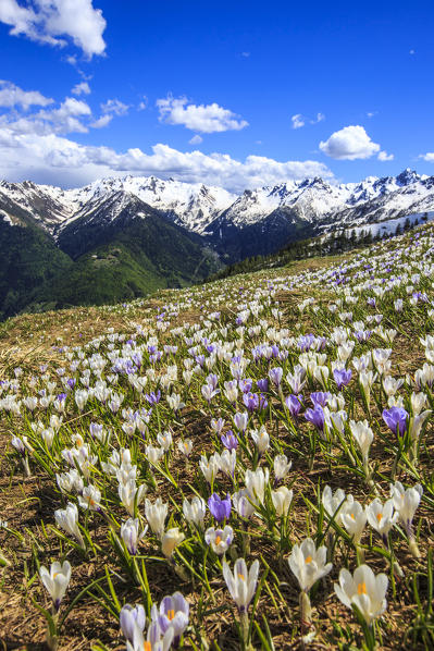 Flowering Crocus with views of the peaks of Valgerola. Valtellina. Lombardy. Italy. Europe