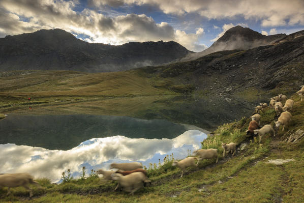 A flock of sheep passes on the shore of Fenetre Lakes Ferret Valley Saint Rhémy Grand St Bernard Aosta Valley Italy Europe