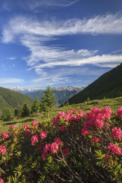 Blooming of rhododendrons surrounded by green meadows Orobie Alps Arigna Valley Sondrio Valtellina Lombardy Italy Europe