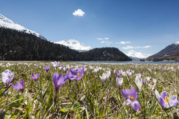 The blooming of colorful crocus frames Lej da Champfèr St.Moritz Canton of Graubünden Engadine Switzerland Europe