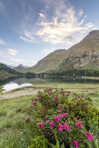 Rhododendrons on the shore of Lake Cavloc, Maloja Pass, Bregaglia Valley, canton of Graubünden, Engadine,Switzerland