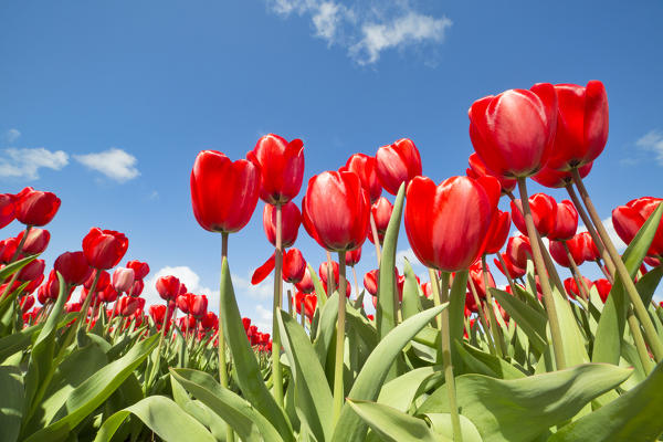 Foto Close Up Of Red Tulips In Bloom Seen From Below Alkmaar Polder