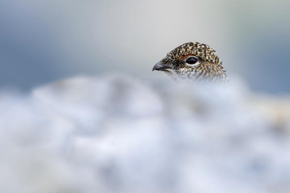 Stelvio National Park,Lombardy,Italy.Rock ptarmigan