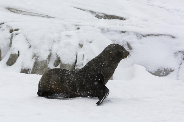 Antarctic fur seal (Arctocephalus gazella), Portal Point, Antarctica.