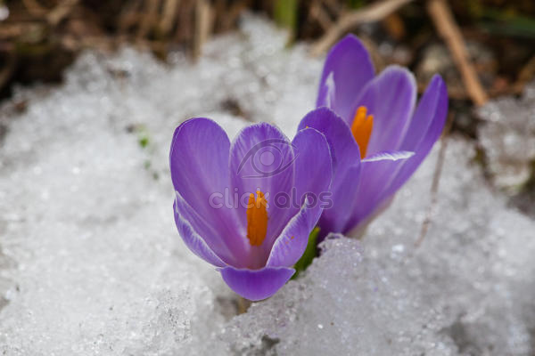 Crocus Are One Of The Brightest And Earliest Spring Blooming Flowers