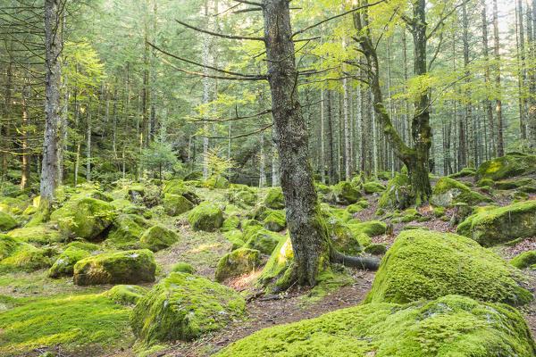 The moss in a forest of Bagni di Masino Val Masino Valtellina ...